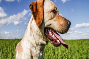 Hijgen van honden