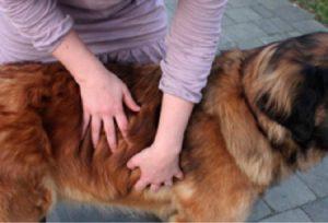 Hondenmassage werkt!