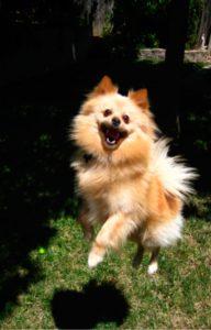 Onderzoek naar effecten van de stroomband op het welzijn van honden